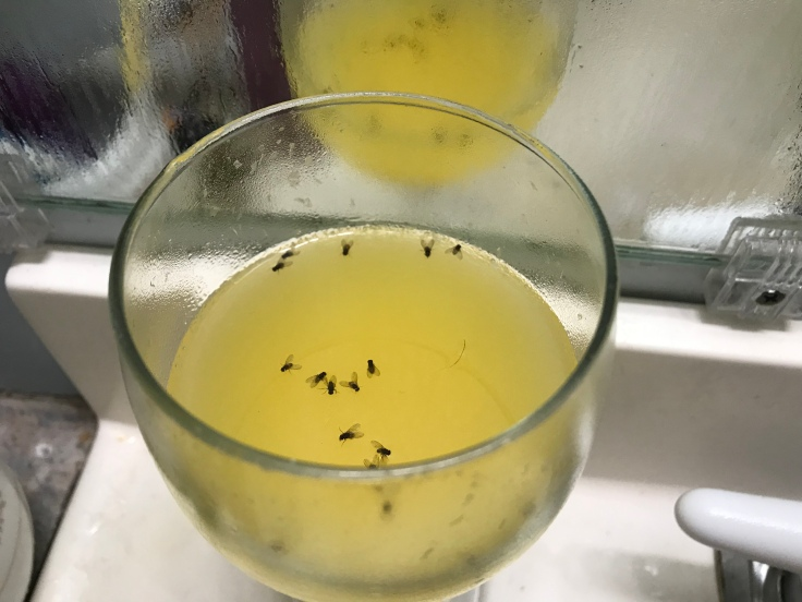 The Best Fruit Fly Trap:  Fruit Flies Cannot Resist Nor Escape an Old Mimosa In a Wine Goblet